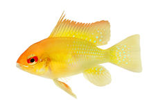 Aquarium Fish Golden Ram Dwarf cichlid Mikrogeophagus ramirezi freshwater Stock Photo