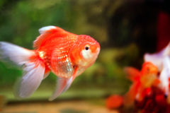 Aquarium fish (goldfish) Stock Photos