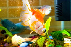 Aquarium fish goldfish is swimming in the water with green plant Royalty Free Stock Photo