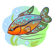 Aquarium fish gourami Royalty Free Stock Photography