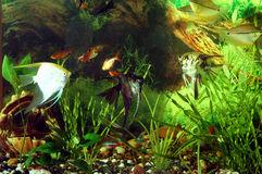 Aquarium with fish. Green theme.  Royalty Free Stock Photography