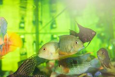 Aquarium fish in green water. Colorful aquarium fish swimming in green water Royalty Free Stock Image