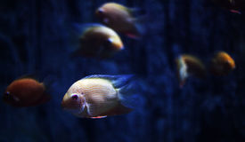 The aquarium fish. A group of fish in the aquarium Stock Image