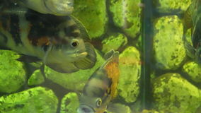 Aquarium fish. Group of fish The oscar Astronotus ocellatus. Slow motion stock video footage