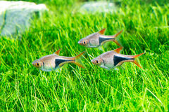 Aquarium Fish. Home aquarium fish grass.,Aquarium Green Grass, Shrimp , Bubbles Royalty Free Stock Images