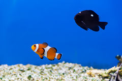 Aquarium fish Royalty Free Stock Image