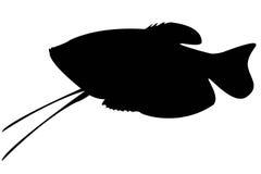Aquarium fish isolate. Black silhouette of aquarium fish gurami isolate vector illustration
