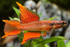 Aquarium Fish, Killifish Twostripe lyretail Royalty Free Stock Photos