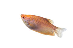 Aquarium Fish Lunar gourami on white background Stock Images