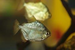 Aquarium fish Metynnis argenteus. Aquarium fish the  Metynnis argenteus Stock Image
