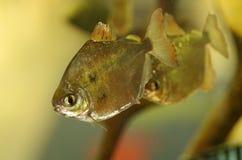 Aquarium fish Metynnis argenteus. Aquarium fish the Metynnis argenteus Royalty Free Stock Photography