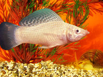 Aquarium fish Mollienesia velifera Regan. Aquarium fish Mollineziya wind-driven Mollienesia velifera Regan stock photo