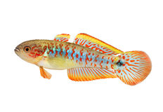 Aquarium fish Peacock Gudgeon Tateurndina ocellicauda freshwater royalty free stock photos