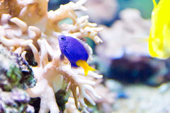 Aquarium fish Royalty Free Stock Photography