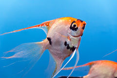 Aquarium fish Stock Image