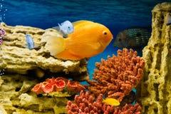 Aquarium fish. Photo of exotic fish in home aquarium Stock Photo