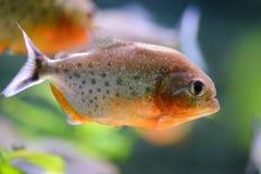 Aquarium fish piranha, contained in an artificial pond. Aquarium fish piranha, aquarium fish piranha, contained in an artificial pond Royalty Free Stock Images