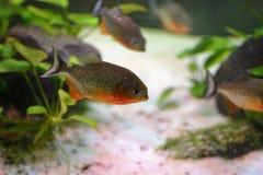 Aquarium fish piranha, contained in an artificial pond. Aquarium fish piranha, aquarium fish piranha, contained in an artificial pond Royalty Free Stock Image