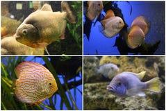 Aquarium fish: Piranha, Discus, Cichlid. Royalty Free Stock Photography