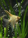 Aquarium fish pterophyllum Royalty Free Stock Images