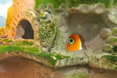 Aquarium fish red parrot hid in a cave. Aquarium fish red parrot hid in a  cave stock image