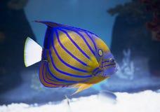 Aquarium fish ringed angel. Royalty Free Stock Photos