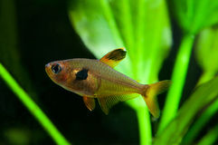 Aquarium fish. Rosy Tetra. Freshwater tank with plants background Stock Images