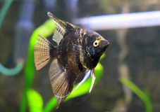 Aquarium Fish- Scalare. Aquarium Fish- Black scalare in home aquarium royalty free stock images