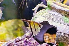 Aquarium fish scalare Stock Photo