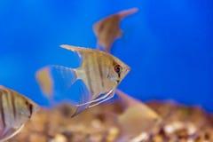 Aquarium fish scalare Royalty Free Stock Photo