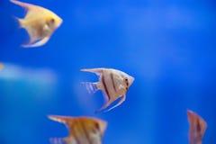Aquarium fish scalare Stock Images