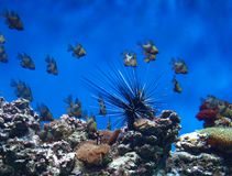 Aquarium with fish and sea urchin royalty free stock photography