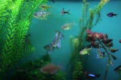 Aquarium fish seaweed. Aquarium, fish, seaweed, blue, bright, saltwater, swimming, water, underwater stock photo