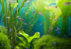 Aquarium with fish and seaweed Royalty Free Stock Photo