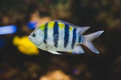 Aquarium fish - sergeant major or píntano. Abudefduf saxatilis royalty free stock images