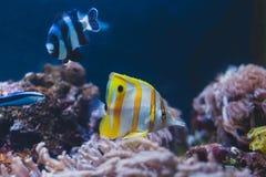 Aquarium fish - sergeant major or pantano and yellow fishtank. Abudefduf saxatilis royalty free stock photography