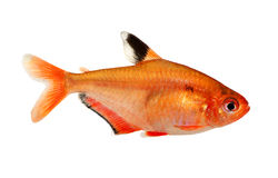 Aquarium fish Serpae Tetra Barb Hyphessobrycon serape eques freshwater isolated on white Royalty Free Stock Photo