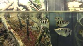 Aquarium fish 4. Shooting a fish in a beautiful aquarium stock footage
