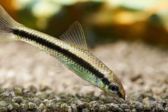 Aquarium fish. Siamese algae eater Stock Photos