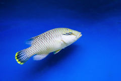 Aquarium fish. Among the steep slopes of coral reefs are slowly moving beautiful fish Stock Photo