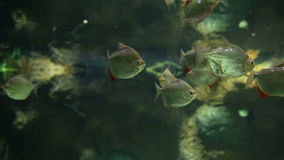 Aquarium fish swim underwater stock video