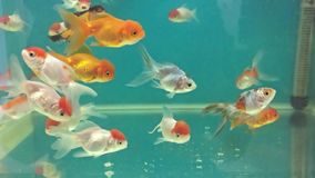 Aquarium fish swimming in relaxing the water meditation stock video footage