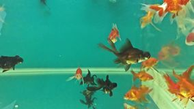 Aquarium fish swimming relaxing in the water meditation. Aquarium fish swimming relaxing in water meditation stock video footage