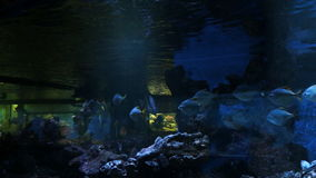 Aquarium fish, swimming under water. Aquarium fish, swimming under water with reflections stock video