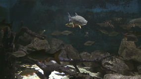 Aquarium fish, swimming under water. Aquarium fish, swimming under water with reflections stock video footage