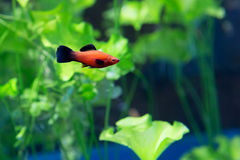 Aquarium fish swordsman Stock Images
