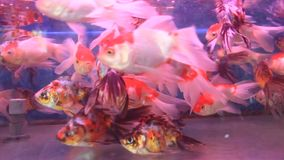 Aquarium fish tank. The aquarium fish tank , fish stock video footage