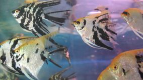 Aquarium fish tank. The aquarium fish tank , fish stock footage