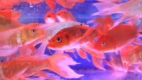 Aquarium fish tank. The aquarium fish tank , aquarium fish tank stock video footage