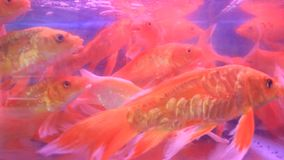 Aquarium fish tank. The aquarium fish tank , aquarium fish tank stock footage